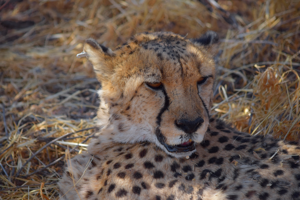 Cheetah at the Cheetah Conservation Fund | The Biveros Effect