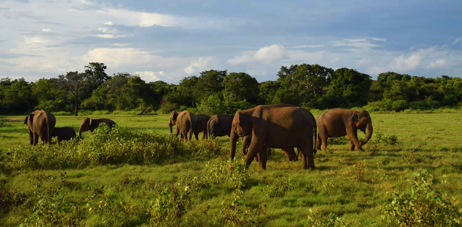 wild elephants at Kaudulla National Park | Soul Travel Blogs photo
