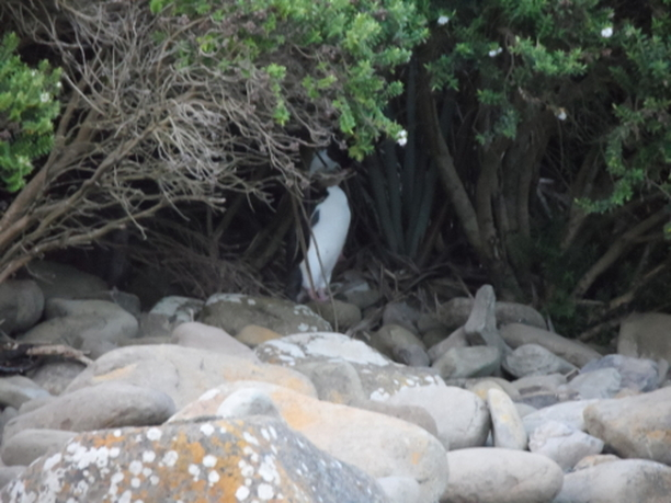 Yellow eyed penguins hiding in the underbrush at Caitlins National Park, New Zealand